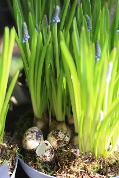 Viiriäisen munilla koristeltuna.
