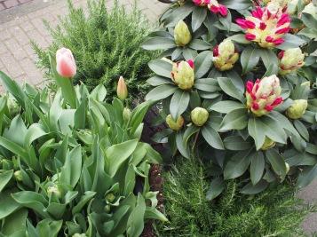Alppiruusua puhkeamassa kukkaan. Tätä oli paljon kukkakaupoissa ja toreilla myynnissä.